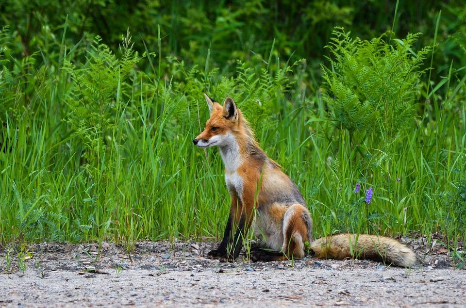 fox-1123439_960_720