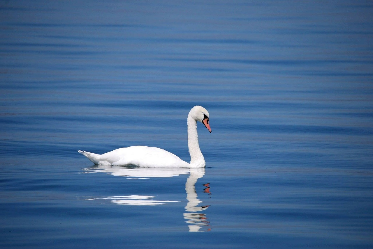 swan-173675_1280